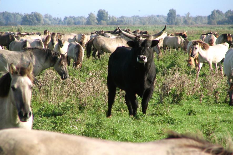 Horses and cattle graze in the Oostvaardersplassen, Dutch nature reserve.