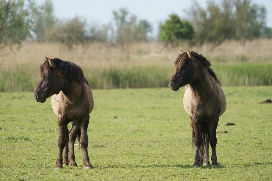 Horses in the Dutch nature reserve Oostvaardersplassen.