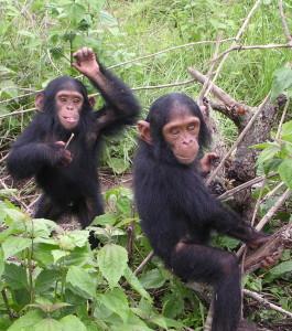 To sjimpansebarn.